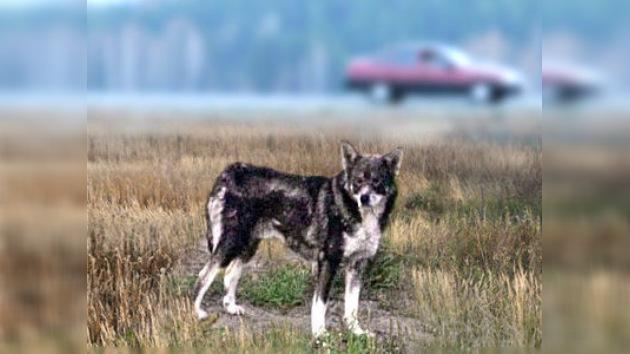 La historia del perro fiel Hachiko se repite en la ciudad rusa de Perm