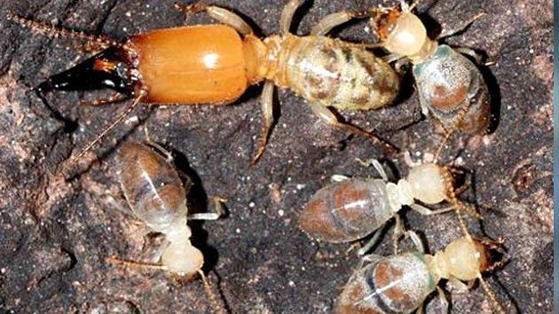 Descubren termitas que de viejas se vuelven 'kamikazes' para proteger la especie