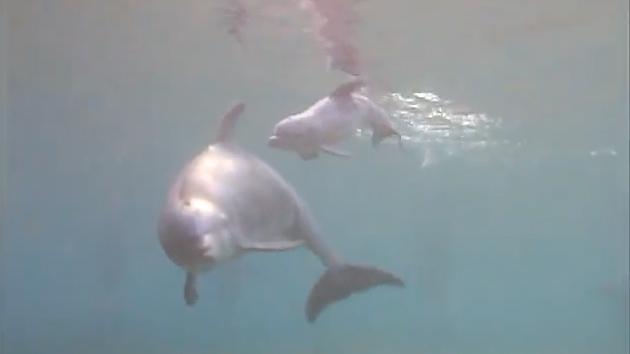 Video: Nacimiento bajo el agua, el parto de un delfín