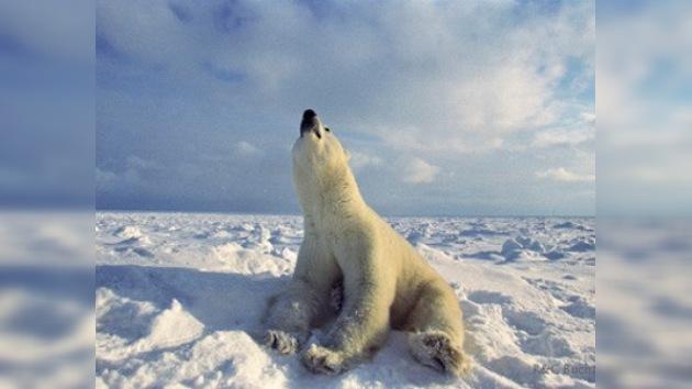 Los osos polares también sufren de la contaminación medioambental
