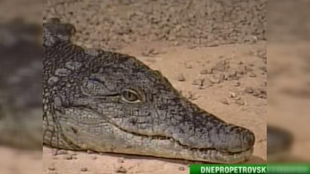 Operarán a un cocodrilo para extraerle un celular en una ciudad ucraniana