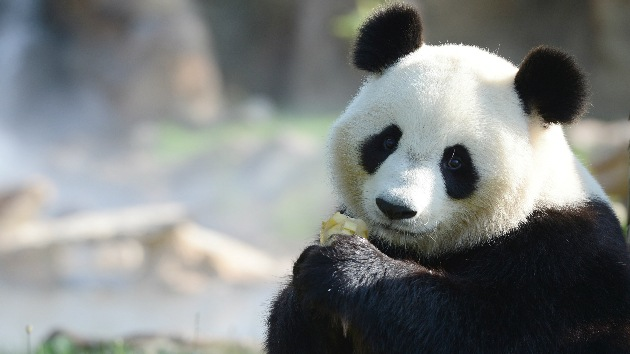 El cambio climático amenaza con dejar sin comida a los pandas salvajes