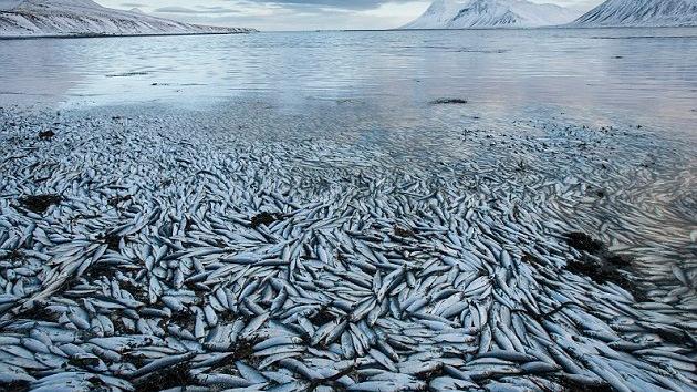 Millones de peces aparecen muertos en un fiordo islandés por causas desconocidas