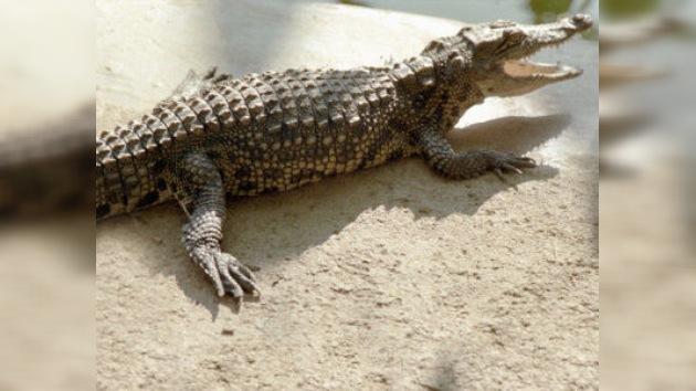 El cocodrilo que se tragó un celular hace unos meses lo ha expulsado de forma natural
