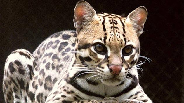 Descubren una nueva especie de gato salvaje en Brasil