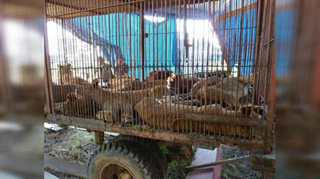 EE. UU. recibe 25 leones rescatados de circos bolivianos