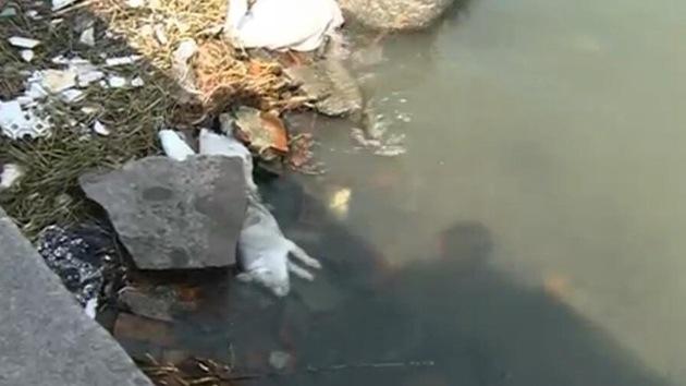 Pescan 900 cerdos muertos en un río que suministra agua potable en China