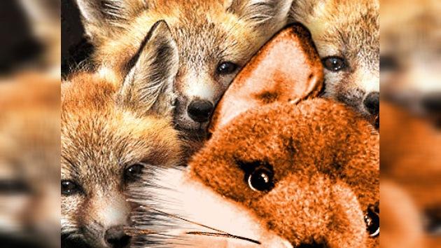 Cachorros de un zorro encontraron una nueva 'madre'