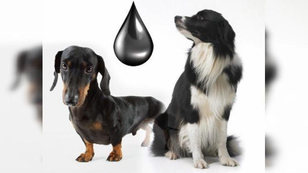 Perros, un medio económico de buscar petróleo