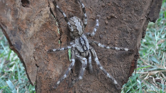 Nueva tarántula gigante, muy rápida y venenosa, descubierta en Sri Lanka