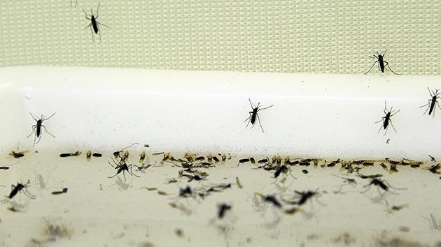 Florida, con la mosca en la oreja: preocupa la modificación de mosquitos contra el dengue