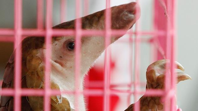 Especies de animales raros que podrían salvarse si China deja de comérselas