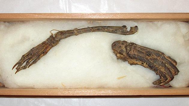 Exhiben en Japón por primera vez presuntos restos de un demonio acuático