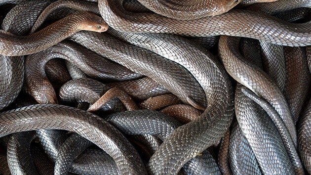 Un pastor estadounidense pide que le devuelvan unas serpientes para las misas