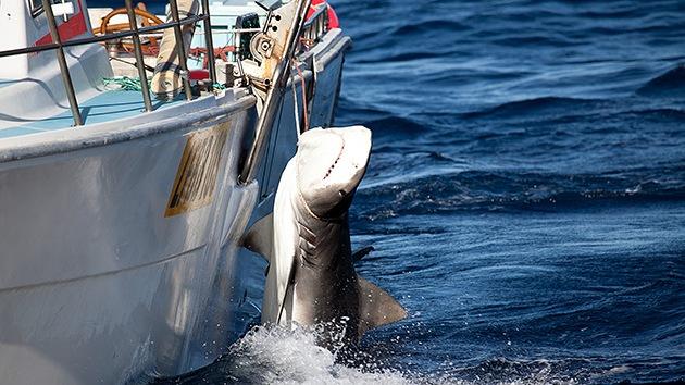 Australia captura 170 tiburones y sacrifica 50 para reducir los ataques contra bañistas