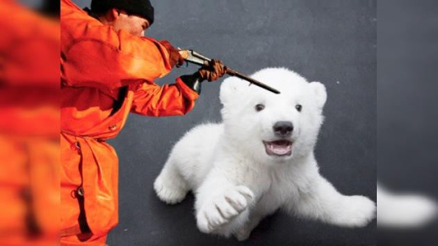 En Rusia se vuelven a cazar osos blancos tras 50 años de prohibición