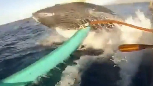 Una enorme ballena golpea una canoa en Hawái