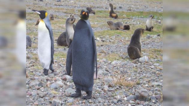 Aparece en el Polo Sur un pingüino completamente negro