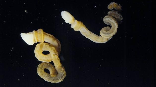 Un fósil de un 'gusano fálico' completa la cadena evolutiva de los cuerpos blandos