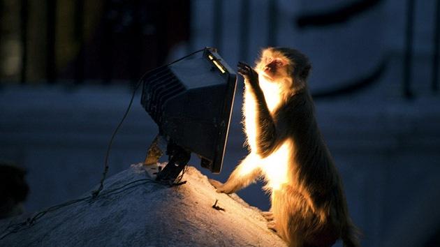 Científicos logran 'activar' cerebro de monos con ayuda de la luz