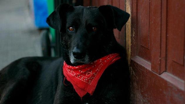 'Matapaco', el perro revolucionario que no se pierde una protesta en Chile