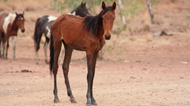 Australia sacrificará más de 10.000 caballos salvajes 'condenados' por el hambre y la sed