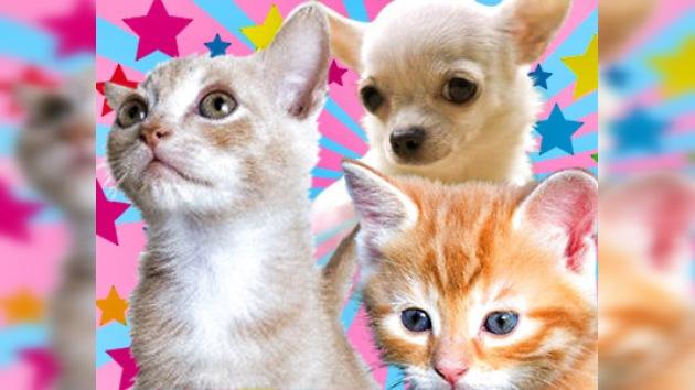 En Chile una chihuahua bondadosa salvó vidas de dos gatitos abandonados