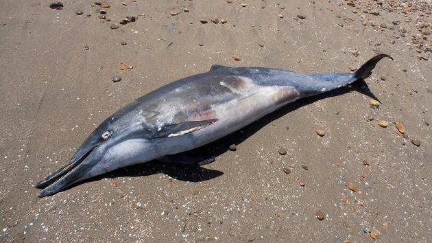 Descubren un nuevo virus que causó la muerte a un delfín en EE.UU.