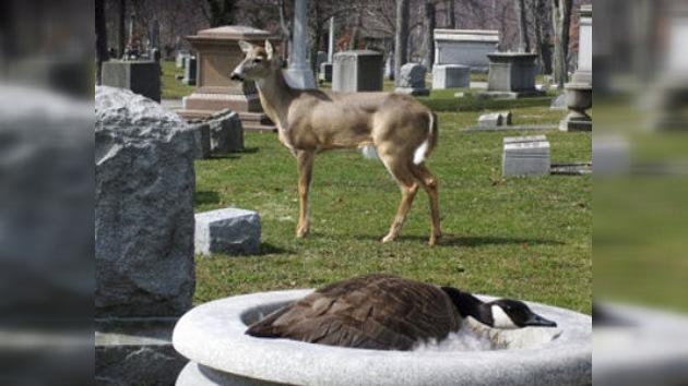 Enigma del mundo animal: un ciervo asumió el papel de protector de una gansa