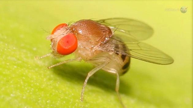 ¿Para qué la NASA necesita moscas en el espacio?