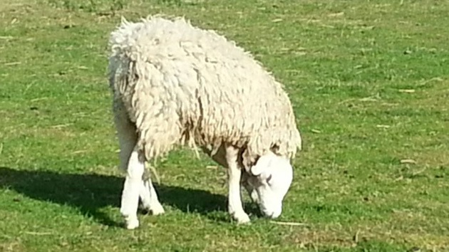 Video: Terry, la oveja con la cabeza al revés