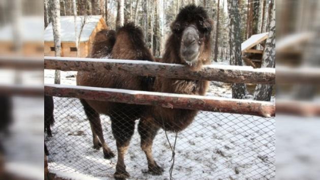Un crematorio siberiano compra un camello para 'calmar' a los visitantes