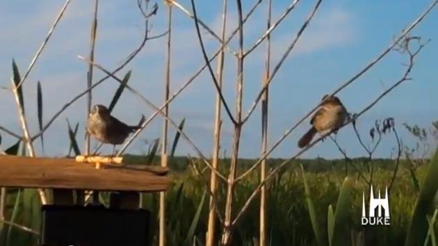 Angry Birds: crean un gorrión robot para estudiar la agresividad en las aves