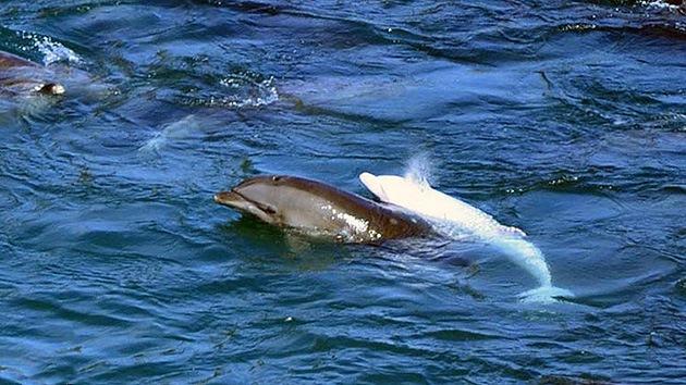 Fotos: 250 delfines, incluida una cría albina, acosados por la caza tradicional en Japón