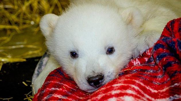 Video: Un osito polar es salvado por el cazador que lo dejó huérfano