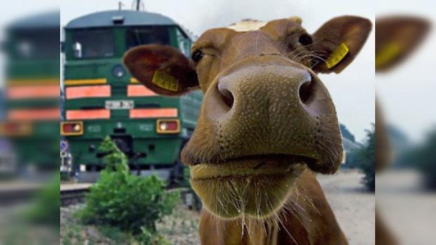 Choques de trenes contra animales en vías férreas de Bielorrusia
