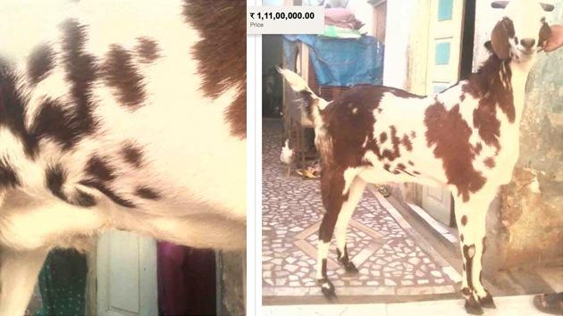 Una cabra con la palabra 'Alá' en su lomo, a la venta por 200.000 dólares