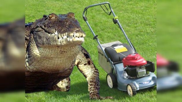 Vídeo: un cocodrilo 'devora' una irritante cortadora de césped