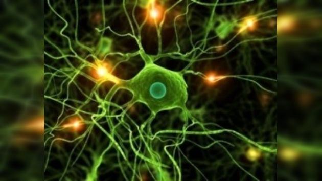 Científicos rusos convierten el cerebro en transparente para estudiar su funcionamiento