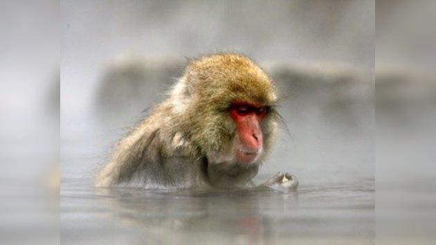Monos radiactivos, vigías de Fukushima