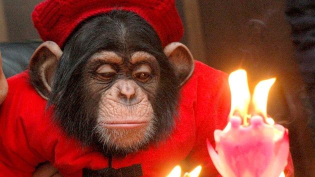 Los chimpancés se imponen a los humanos en un juego matemático
