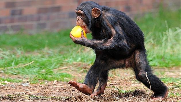 Pies de mono: una de cada 13 personas tiene los pies tan hábiles como los chimpancés
