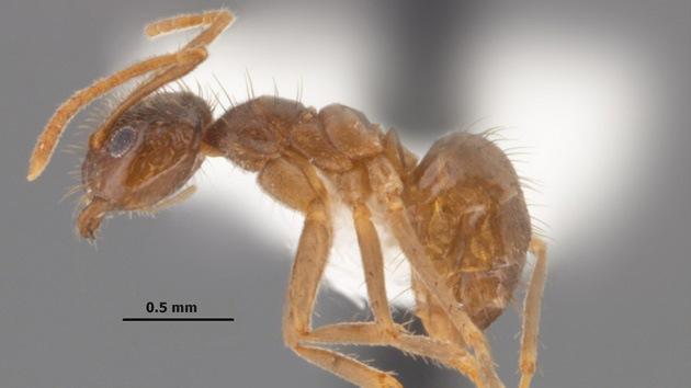 Fuera del control: Hormigas locas por la electricidad conquistan el sur de EE.UU.