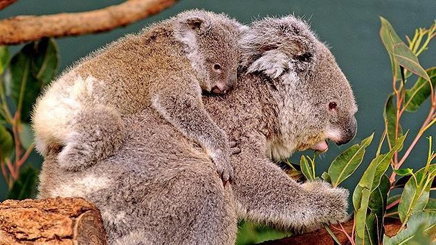 Australianos venden sus casas para dar espacio a los koalas