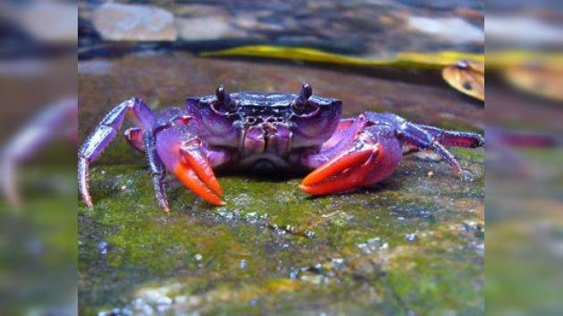 Descubren cuatro nuevas especies de cangrejos violetas en Filipinas