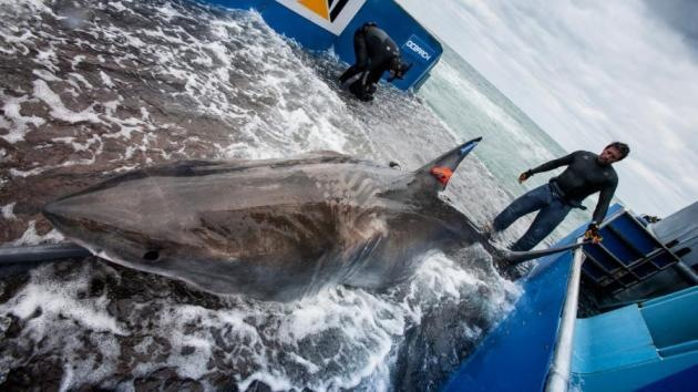 Tiburones en la Red: Crean una aplicación para seguir a los escualos 'on line'
