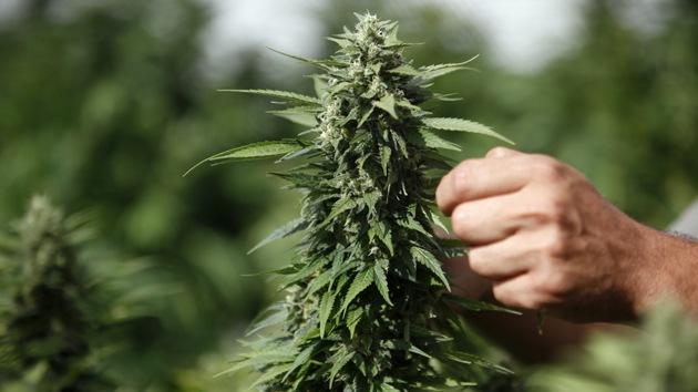 Científicos desarman las críticas de los contrarios a la legalización de la marihuana