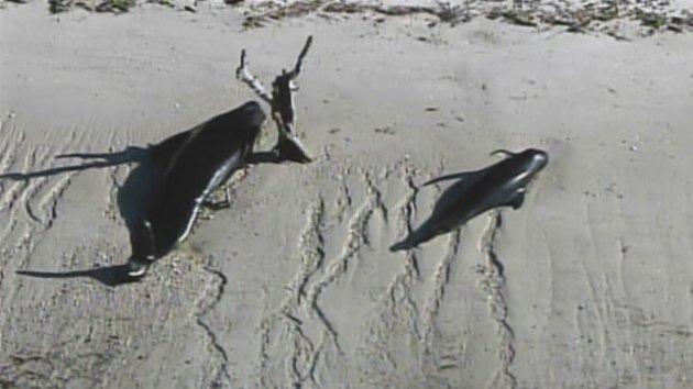 Video, Fotos: Al menos 10 ballenas muertas y decenas varadas en EE.UU.