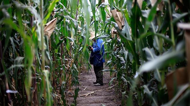 """""""Puñalada transgénica"""": México autoriza 132 productos genéticamente modificados"""
