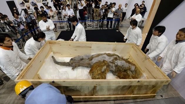 Un mamut de 39.000 años, el mejor conservado de su especie, se exhibe en Japón